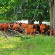 Cattle Herd Art Print