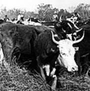 Cattle: Longhorns Art Print
