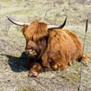 Cattle Scottish Highlanders, Zuid Kennemerland, Netherlands Art Print