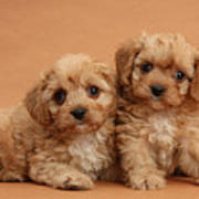 Cavapoo Pups Art Print by Mark Taylor