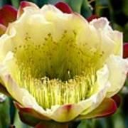 Cereus Cactus Flower Art Print