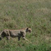 Cheetah On The Serengeti Art Print