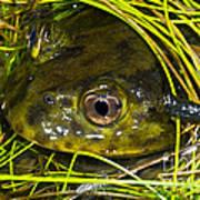 Chilean Widemouth Frog Art Print