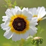 Chrysanthemum Named Polar Star Art Print