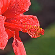 Close Up Of A Red Hibiscus Art Print
