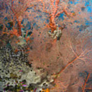 Colourful Sea Fan With Crinoid, Papua Art Print
