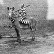 Comic Criminal Riding A Zebra Art Print