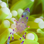 Commensal Shrimp On Green Anemone Art Print by Steve Jones