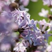 Common Purple Lilac Art Print