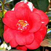Coral Camellia At Pilgrim Place In Claremont-california  Art Print