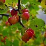 Crab Apples Art Print