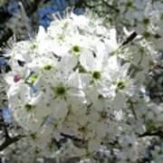 Crabapple Blossom  Art Print