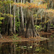 Cypress Trees In Caddo Lake Art Print