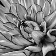 Dahlia In Black And White Close Up Art Print