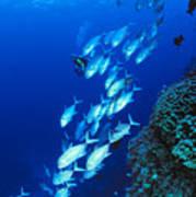 Diving Australia Art Print