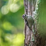 Downy Woodpecker In The Wild Art Print