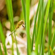 Dragonfly On Reed Leaf Art Print