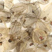 Dried Fruits Of The Cape Gooseberry Art Print