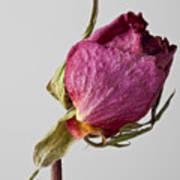 Dried Rose 2 Art Print