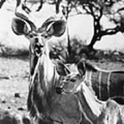 East Africa: Kudu Art Print