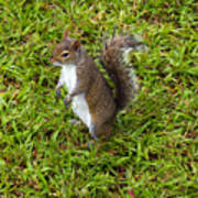 Eastern Gray Squirrel Art Print