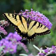Eastern Tiger Swallowtail Butterfly 2015 Art Print