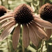 Echinacea Garden Art Print