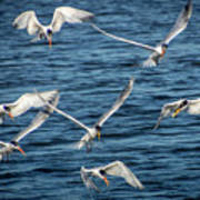 Elegant Terns Diving For Fish Art Print
