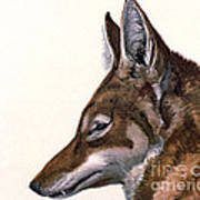Ethiopian Wolf, Endangered Species Art Print