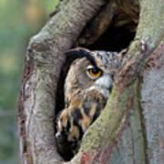 Eurasian Eagle-owl Bubo Bubo Looking Print by Rob Reijnen