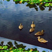 Exotic Birds Of America Ducks In A Pond Art Print