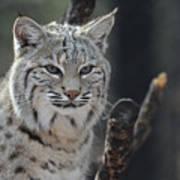 Face Of A Canadian Lynx Art Print