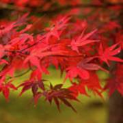 Fall Color Maple Leaves At The Forest In Aomori, Japan Art Print