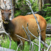 Female Elk Yellowstone Art Print