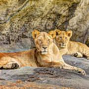 Female Lion And Cub Hdr Art Print