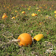 Field Of Pumpkins Art Print