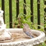 Fledgling Bluebird At Birdbath Art Print