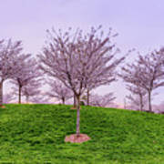 Flowering Young Cherry Trees On A Green Hill In The Park  Art Print