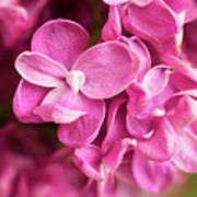 Flowers - Freshly Cut Lilacs Art Print