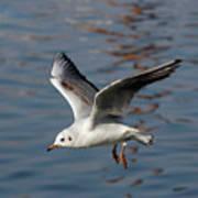 Flying Gull Art Print