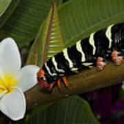 Frangipani Tree And Caterpillar Art Print