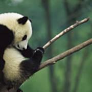 Giant Panda Ailuropoda Melanoleuca Year Art Print