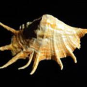 Giant Spider Conch Seashell Lambis Truncata Art Print