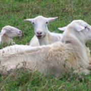 Goat Family Art Print