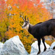 Goat In The Austrian Alps Art Print