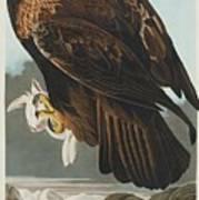 Golden Eagle Art Print
