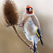 Goldfinch On Teasle Art Print