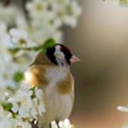 Goldfinch Spring Blossom Art Print