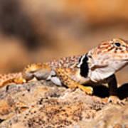 Great Basin Collared Lizard Art Print