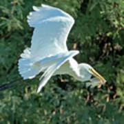 Great Egret With Fish Art Print